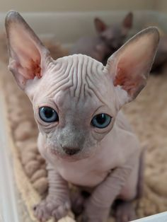 we love cats. Cute Little Animals, Cute Funny Animals, Cute Cats And Kittens, Baby Cats, Beautiful Cats, Animals Beautiful, Beautiful Pictures, Spinx Cat, Cute Hairless Cat