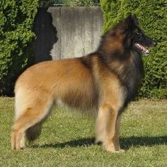 Photograph,Images,video for visual recreation Belgian Dog, Belgian Tervuren, Belgian Shepherd, German Shepherd Dogs, Dog Breeds That Dont Shed, Cute Dogs Breeds, Cute Dogs And Puppies, Puppy Litter, Cute Dog Pictures