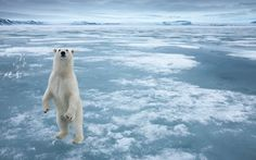 Polar bears, walruses and icebergs: Arctic pictures taken in Svalbard, Norway, by wildlife photographer Paul Souders. Polar Bears Live, Cute Polar Bear, Photo Ours, Svalbard Norway, Arctic Landscape, Polaroid, Sea Ice, Bear Pictures, Bear Photos