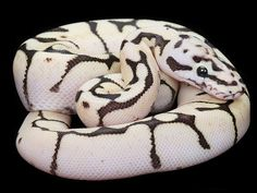 Fire Bee Ball Python - daww, look at that face! like a scaly, legless, bald puppy Pretty Snakes, Cool Snakes, Beautiful Snakes, Animals Beautiful, Beautiful Creatures, Cute Animals, Python Royal, Ball Python Morphs, Cute Reptiles