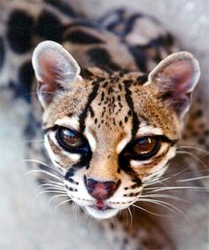 I ❤ big cats . . . This is a beautiful margay big cat. Margays dwell in the rainforests of Central & South America. Scientists figured out that they are able to do all of their hunting in trees. When they're not being ferocious hunters, margays are pretty much just 100% adorable. They have the best lil round ears.