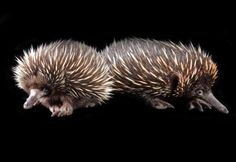 New baby echidnas. Jambo Junction is now home to some weird, wild and wonderful residents. Born 2/2012.