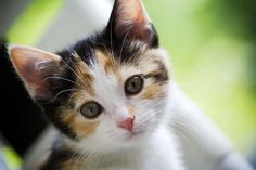 Calico cats are the official state cat of Maryland since 2001. Calico cats are not a specific breed. It's the fur pattern/color that is their distinction.