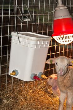 Photo: A few of last year's orphan lambs under a heat lamp. We like using bucket holders  for our buckets. They are sturdier and a ...