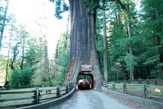 The Chandelier Tree is a 315 foot tall coast redwood tree in Leggett, California with a 6 foot wide by 6 foot 9 inch high hole cut through its base to allow cars to drive through.