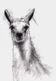One of my sketch a day drawings British Lama #cattle #drawing #lama #sketch