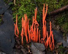 Коралловый гриб (Clavulinopsis corallinorosacea). Гриб называют так из-за сходства с морскими кораллами. Эти грибы имеют яркий цвет, в основном, оранжевый, желтый или красный.  Обычно они растут в старых лесах.одни коралловые грибы сапротрофны, а другие симбиотические или даже паразитарные.