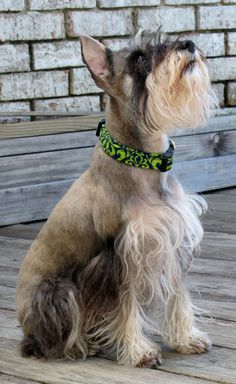 Bindi the Miniature Schnauzer wearing the small navy blue w/ lime green damask print dog collar. $16.00, via Etsy.