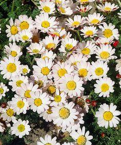Kruhovník - Marocký heřmánek. Anacylus depressus. Originální skalnička, jejíž dvoubarevné květy se vždy na noc zavírají. Výhony se rozprostírají do kruhu, což působí velmi efektně, zvlášť pokud ji umístíte mezi kameny na skalku. Nejlépe jí vyhovuje slunečné místo a suchá, kamenitá půda. Stanoviště: plné slunce, doba kvetení: květen - srpen, výška: asi 15 cm, vhodná k řezu.