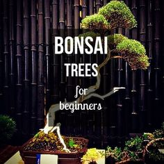 Learn how to grow a Bonsai tree yourself! This step-by-step guide explains Bonsai care