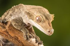 Mobile Lynn posted a photo:  The crested gecko has hair-like projections found above the eyes, resembling eyelashes. It has a wedge-shaped head and a crest that runs from each eye to the tail. Crested geckos do not have eyelids and so they use their long tongues to moisten their eyes and remove debris. The toes and the tip of the semi-prehensile tail are covered in small hairs called setae.
