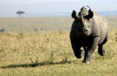 May 8, 2013: Western Black rhino declared extinct