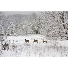 3 Deers In Snow ❤ liked on Polyvore featuring backgrounds