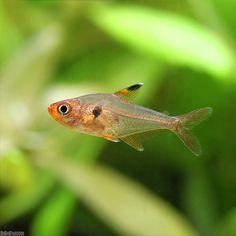 (熱帯魚)レッド・プリステラ(ワイルド)