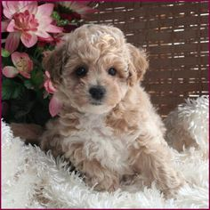 Bichon Poodle Puppies for Sale - AKA Poochon or Bichpoo. Call or Email to reserve your mixed breed puppy today. We are taking deposits to hold these puppies until they are ready for their new homes. Bichon Poodle Mix, Poodle Puppies For Sale, Dogs And Puppies, Teacup Puppies, Bichon Frise, Doggies, Very Cute Puppies, Cute Dogs, Adorable Puppies