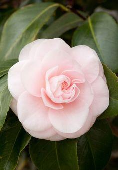 Japanese camellia 'Incarta' (Camellia japonica)