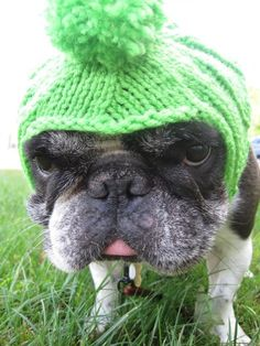 """Look what 'they've' done to me now"", mortified French Bulldog in a Lime Green Crocheted hat."