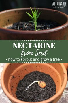 Planting nectarine seeds and other stone fruits can produce excellent fruit. The nectarine tree of m Planting Fruit Trees, Growing Fruit Trees, Fruit Plants, Fruit Garden, Growing Plants, Growing Vegetables, Trees To Plant, Herbs Garden, Organic Vegetables