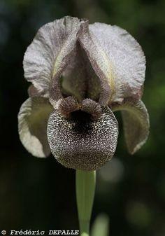 Iris sofarana ssp. kasruwana