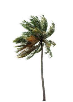 Fotografa de stock: Palm tree blowing in wind low angle…