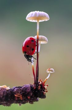 Beautiful photograph of a fruiting body of fungus on which a Ladybug rests. Beautiful Bugs, Amazing Nature, Nature Images, Nature Photos, Photo Coccinelle, Mushroom Pictures, Bugs And Insects, Tier Fotos, Nature Animals
