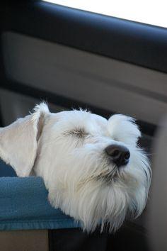 Sleeping in Car Seat by Yukipoo #Miniature #Schnauzer