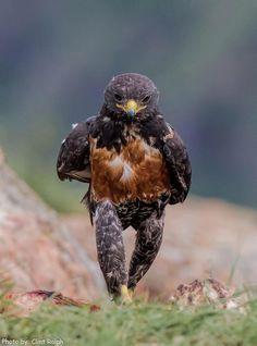 Un aigle se promène