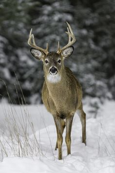 Curious Buck Photo by Daniel Parent Large Animals, Cute Baby Animals, Animals And Pets, Funny Animals, Wild Animals, Bambi, Beautiful Creatures, Animals Beautiful, Whitetail Deer Pictures