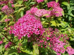 SPIREE japonica 'Anthony Waterer' AT