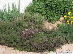 Massif d'aromatiques, menthe, thym, origan, ciboule, ... Permaculture, Green, Compact, Gardening, Babies, Inspiration, Gardens, Mint, Plant Cuttings