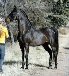 seal brown - American Saddlebred stallion Winsdown Black Gold