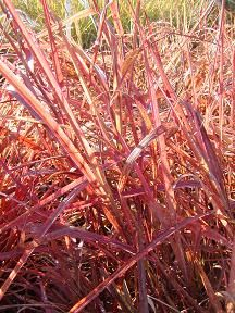 Miscanthus sinensis 'Purpurasencens'. Purple Maiden Grass.