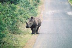 rhinoceros strolling along the road