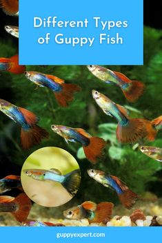 Different Types, Guppy, Things To Come, Fish, Pictures, Drawings, Clip Art