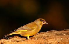 Greenfinch feeding by mariomelletti. @go4fotos
