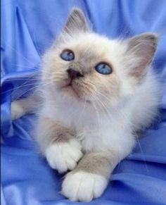 ♥HKK♥ 361 brazillian shorthair kittens   Cat breed : Burmese cat