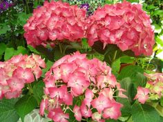 Cómo podar las hortensias. Las hortensias son unas plantas muy comunes en jardines y balcones, ya que sus flores son grandes y vistosas, y pueden ser de distintos colores de una amplia gama cromática. Es muy fácil plantar esque...