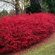 Living Fences: 11 Boundary-Setting Solutions. Fiery burning bush, a member of the euonymus family, is a deciduous shrub that can grow up to 24 feet tall. Burning bush gets its name from the brilliant shade of its fall leaves. The wood is typically a dark purplish-brown shade; the small fruits are popular with numerous species of birds.