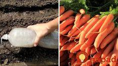 Najchytrejší spôsob, ako vysiať mrkvu: Dvojnásobné výnosy a zo zeme stúpa rýchlejšie, ako zvyčajne – nachystajte si 1 lyžicu a plastovú fľašu! Korn, Carrots, Ale, Vegetables, Gardening, Drinks, Tips, Plant, Recipes