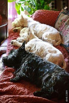 Scottish Terrier & West highland Terriers