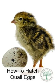 Adding quail to your homestead? Learn some tips on how to hatch eggs successfully! The Homesteading Hippy