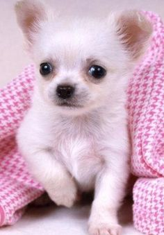 Tiny teacup white chihuahua