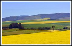 The Overberg - Western Cape - canola fields close to the town of Caledon. About 70 km from Cape Town. Landscape Photos, Landscape Art, Landscape Paintings, Landscape Photography, Reference Photos For Artists, Canola Field, African Paintings, Rest Of The World, Watercolor Landscape