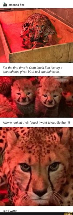 Picture memes 2 comments — iFunny a amanda-fior For the first time in Saint Louis Zoo history, a cheetah has given birth to 8 cheetah cubs. Awww look at their faces! I want to cuddle them! – popular memes on the site Funny Animal Memes, Cute Funny Animals, Funny Animal Pictures, Cute Baby Animals, Cat Memes, Funny Cute, Animals And Pets, Cute Cats, Hilarious