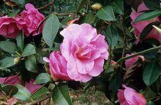 Camellia × williamsii 'Brigadoon'  HYBRID CAMELLIA| Great Plant Picks