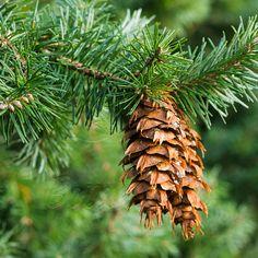 Douglas-fir (Psuedotsuga Menzesii)