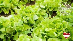 In vielen heimischen Gemüsebeeten ist er zu finden: Der Kopfsalat, hierzulande auch Häupelsalat genannt, zählt zu den liebsten Salatsorten der Österreicher. Dafür verantwortlich sind sein feiner Geschmack, seine wertvollen Inhaltsstoffe und seine Vielseitigkeit in der Küche. #kopfsalat #salat #healthy #gesund #foodfacts #lidl #lidlösterreich #meinheimvorteil #lohntsicheinfach Food Facts, Lidl, Lettuce, Vegetables, Healthy, Tips, Vegetable Recipes, Salad