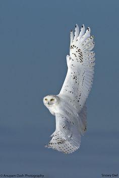 Snowy Owl - Male - by Anupam Dash Owl Photos, Owl Pictures, Beautiful Owl, Animals Beautiful, Owl Bird, Pet Birds, Lechuza Tattoo, Exotic Birds, Colorful Birds
