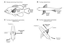 How do Fish know when they are Hungry, How do they Swim Straight? Most fish swim by body movements, not fin movements. The fins are mainly balancers, with the exception of the tail fin, which propels the fish fast. Planted Aquarium, Aquarium Fish, Head Muscles, Fish Swimming, Anatomy Drawing, Head And Neck, Freshwater Fish, Tropical Fish, Drawings