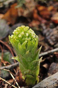 Petasites albus  [Gaertn]  Petasite blanc  (asteraceae)